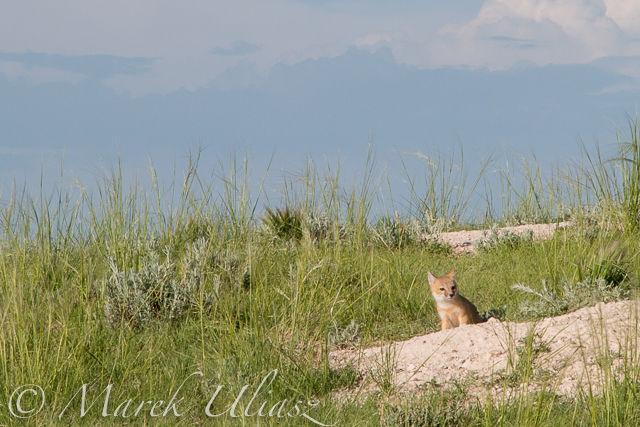 baby fox in Pawnee Grassland