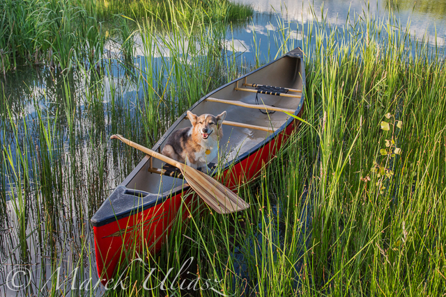 Corgi  dog in a canoe
